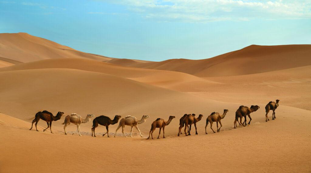 Caravan of 9 dromedaries traversing the sand dunes of the Sahara